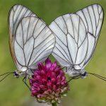 Macrofotografia farfalla Aporia crataegi