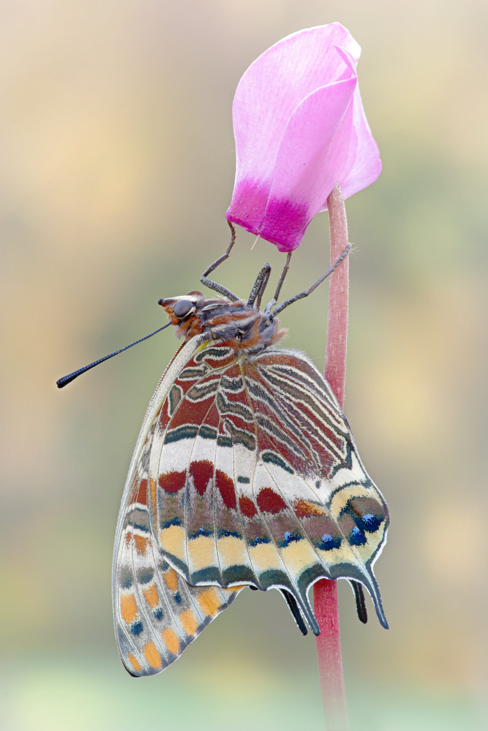 Macrofotografia farfalla Charaxes jasius