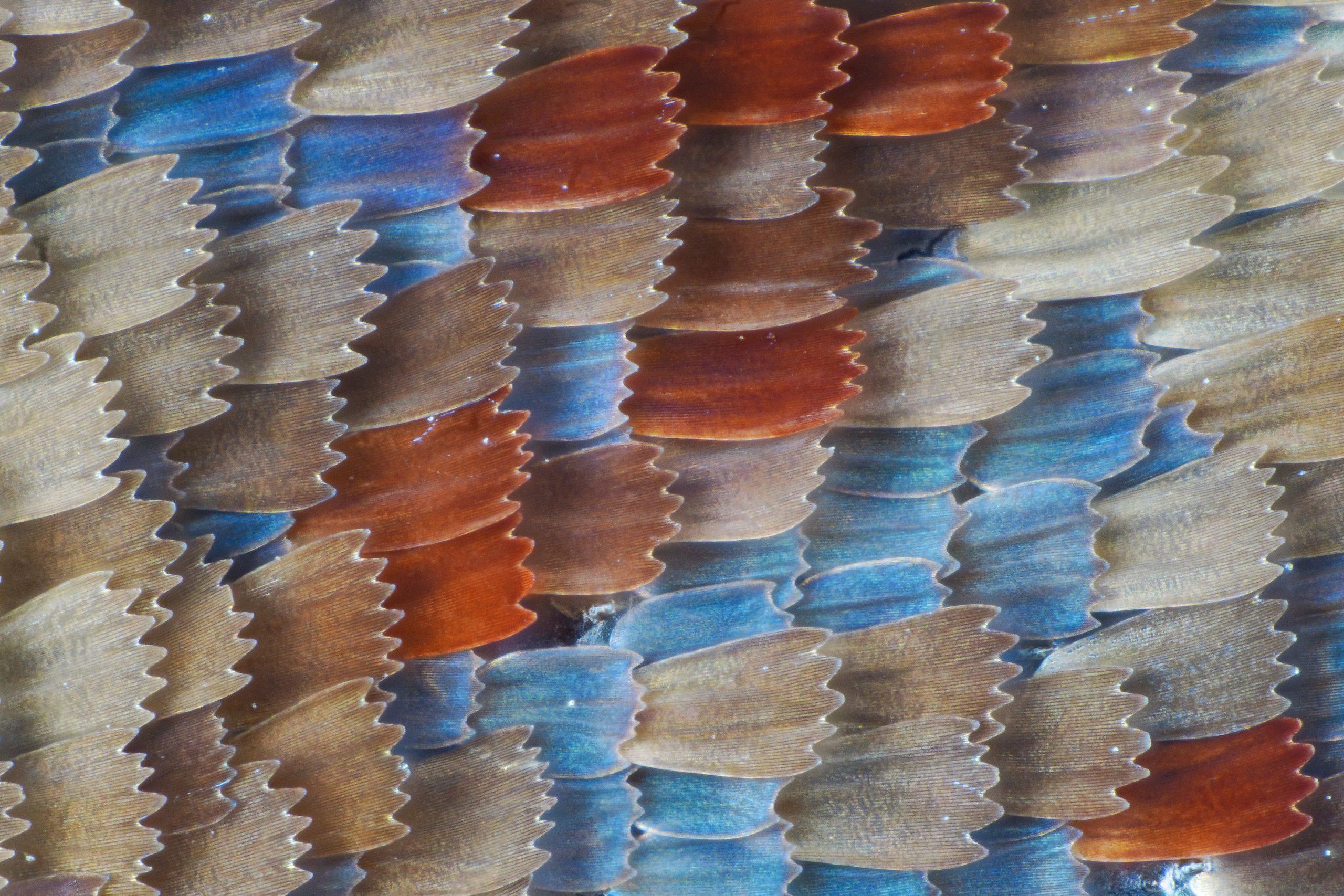 Macrofotografia ala farfalla 20x