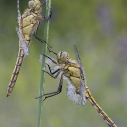 Macrofotografia libellule