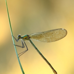 Calopteryx sp.