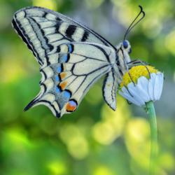 Macrofotografia farfalla Papilio machaon