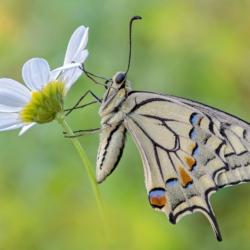 Macrofotografia farfalla macaone