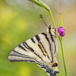 Macrofotografia farfalla Iphiclides podalirius (Linnaeus, 1758)