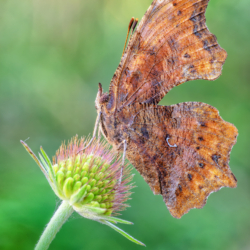 Macrofotografia farfalla Polygonia c-album (Linnaeus, 1758)
