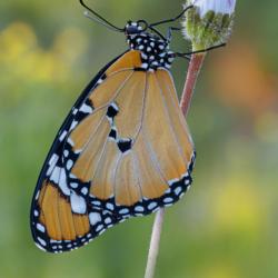 Macrofotografia farfalla Danaus chrysippus