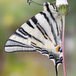Macrofotografia farfalla podalirio