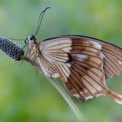 Macrofotografia farfalla Papilio dardanus