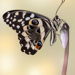 Macrofotografia farfalla Papilio demodocus