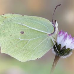 Macrofotografia farfalla Gonepteryx rhamni