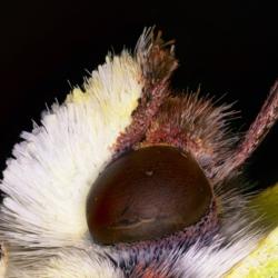 Gonepteryx rhamni (Linnaeus, 1758)