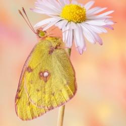 Macrofotografia farfalla Colias crocea