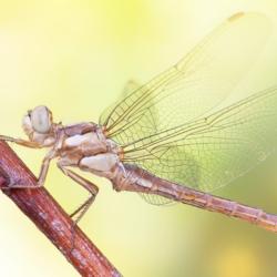 Macrofotografia libellula